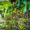 kak ustroeno proizvodstvo kofe v dominikane
