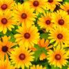 rasteniya kotorye cvetut vsju osen
